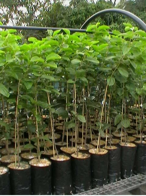 grafted persimmon trees on a nursery bench
