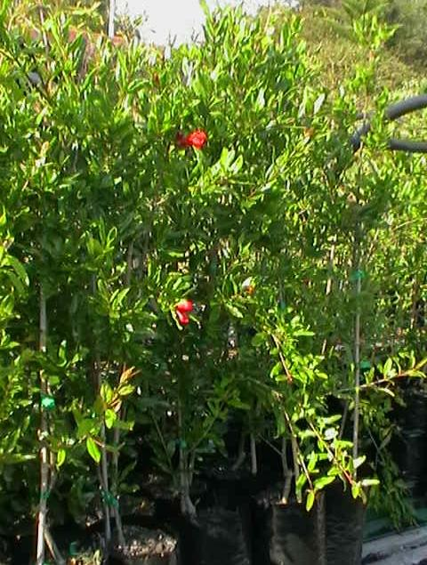 pomegranate plants with flowers